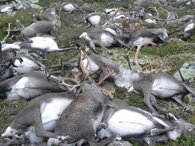 More Than 300 Wild Reindeer Killed by Lightning Stri...