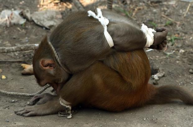 See How India Captures a Thief Monkey