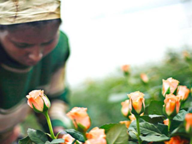 Agency Announces Ethiopian Horticulture Revenue Incr...