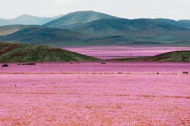 The 'driest place on Earth' is covered in pink flowers after a crazy year of r...