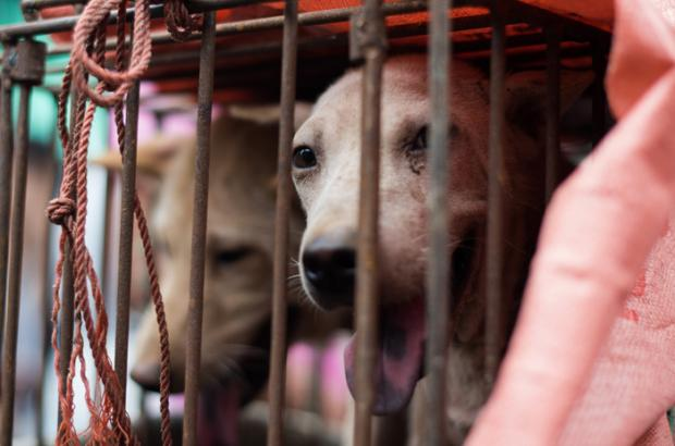10,000 Dogs Are on the Menu at the Annual Dog Meat Eating Yulin Festival