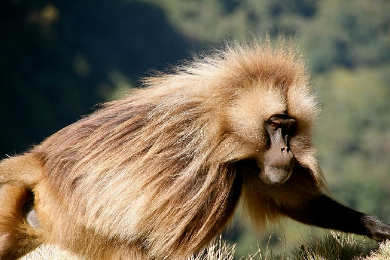 Wolves and Baboons in Ethiopia Form Unlikely Friendships