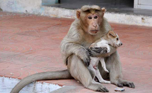 A Tale of Love Story: A Monkey Adapts a Puppy