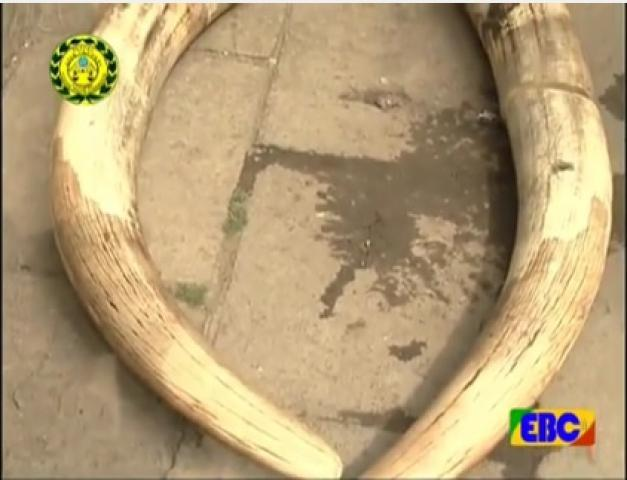 6 KG ivory seized trying to be smuggled from Gambela to Addis Ababa