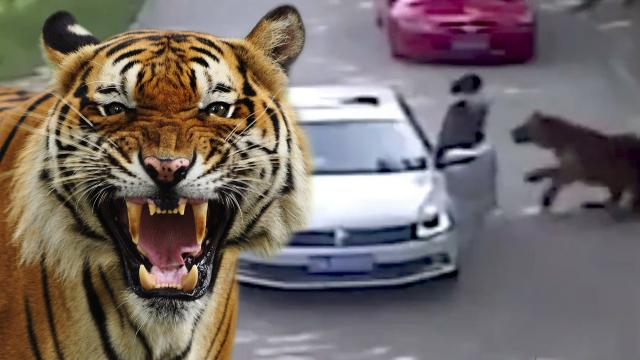 [Shocking] Tigers maul woman to death