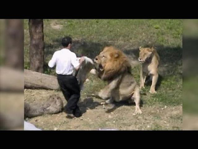 Crazy Man Jumps into Lion Enclosure at the Taipei ZOO in Taiwan and Gets Attacked