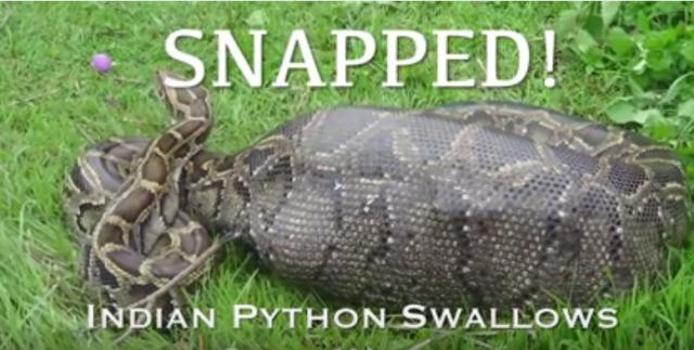SNAPPED! Indian Python Swallows Goat Whole
