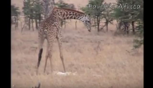 Giraffe attacks lion pride and kicks one of them to death