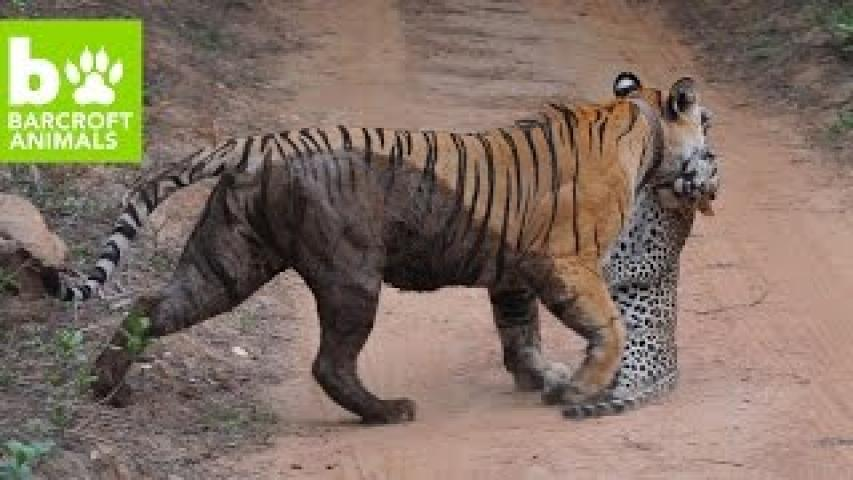 SNAPPED! Bengal Tiger Attacks Leopard