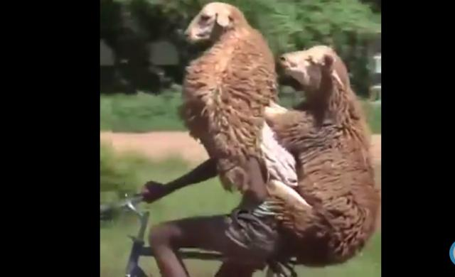 [Funny Video] Man carries two sheep on bike for delivery
