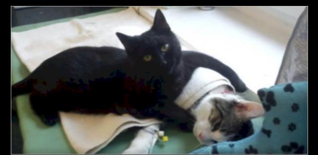 This Miracle Cat Nurses other Sick Animals back to Health