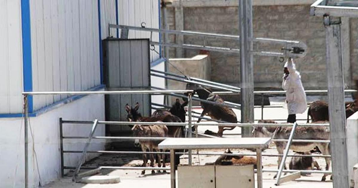 Donkey abattoir still in business despite ban