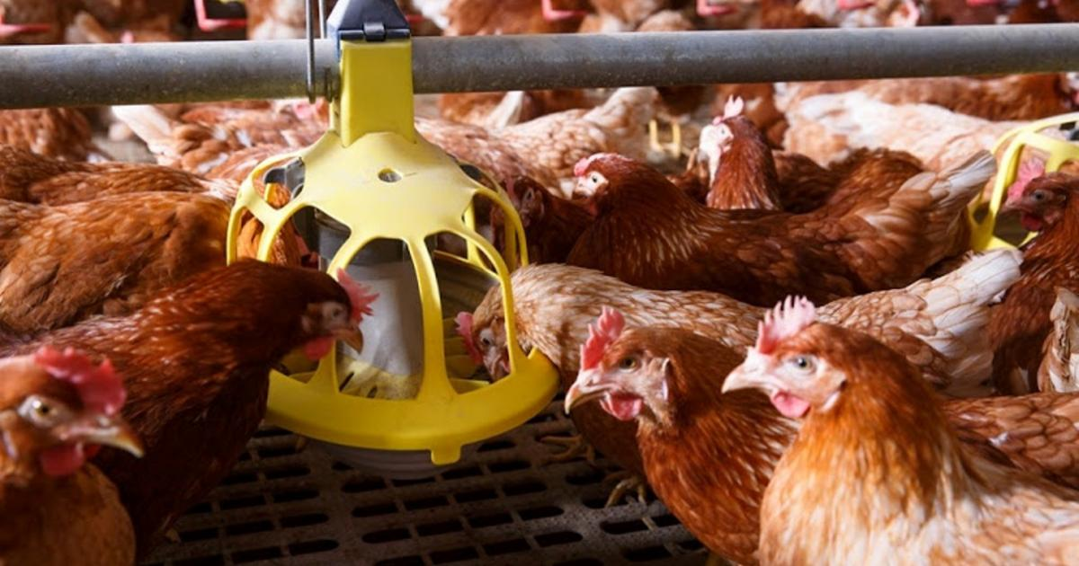 South Africa Bans Sale of Live Hens to Contain Bird Flu Outbreak