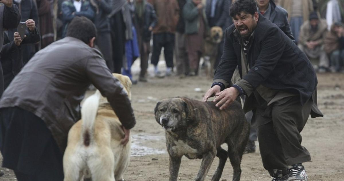 Snarling dogs fight in a Kabul marketplace