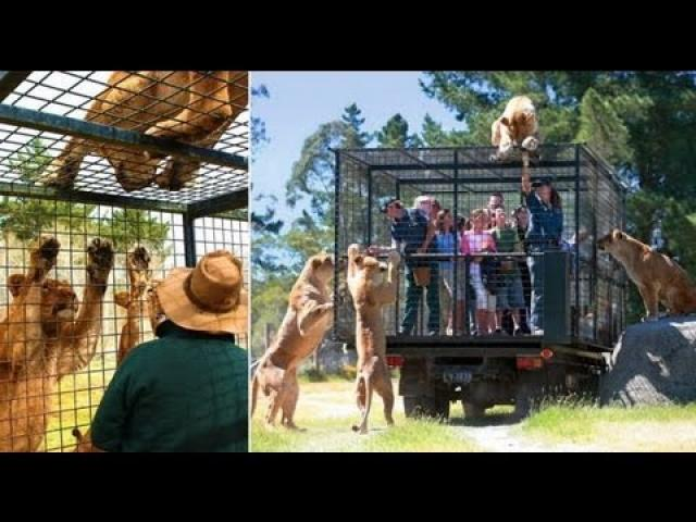 Tourists locked in cage for close encounter with hungry lions