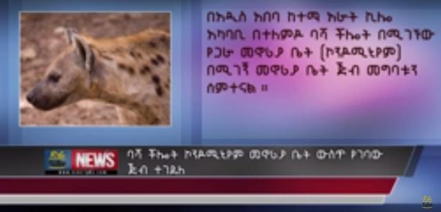 Addis Ababa: A Hyena spends 11 hours in the house
