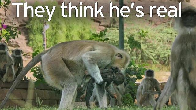 Langur monkeys grieve over fake monkey - Spy in the Wild:  BBC One