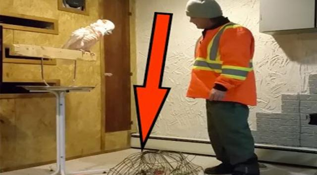 Angry parrot goes rude with his master.