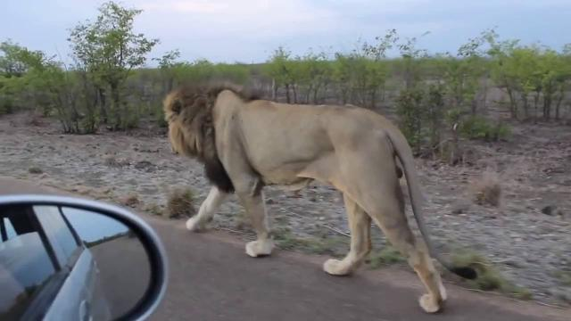 Dude teases a lion and gets a healthy dose of instant karma