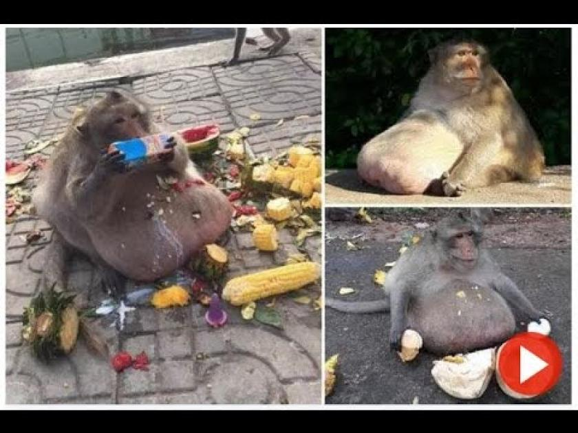 Obese 15kg monkey nicknamed 'Uncle Fatty' is spotted chomping on tourists' food in Thailand