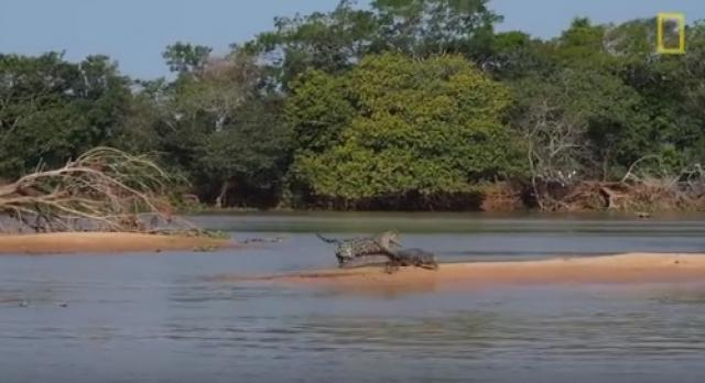 Jaguar Attacks Crocodile - Amazing Video