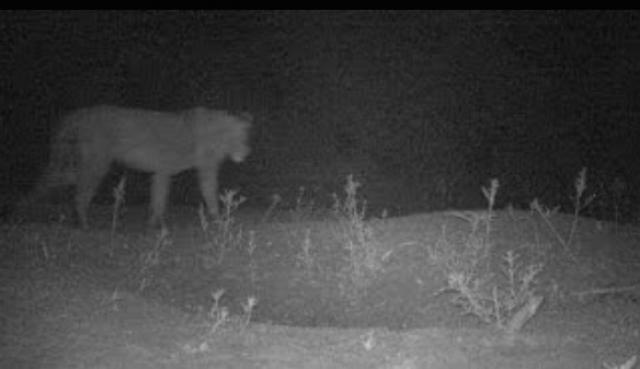Previously Unknown Lion Population Found in Ethiopia
