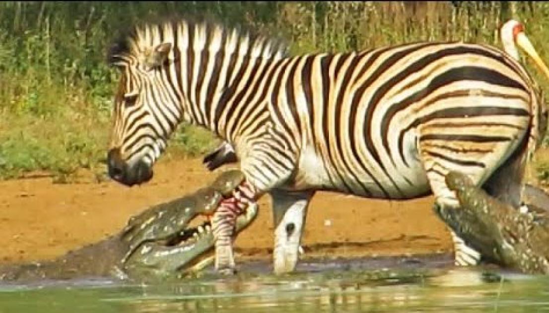 Zebra Escapes the Jaws of 2 Crocodiles