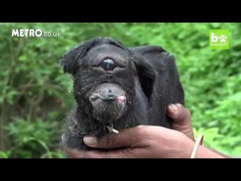 Cyclops goat born with one eye is worshipped by villagers in India